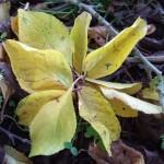 yellow leaf flower