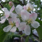 apple blossom on the allotment