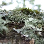 lichen growing on old oak tree