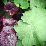 Alchemilla Mollis and heuchera